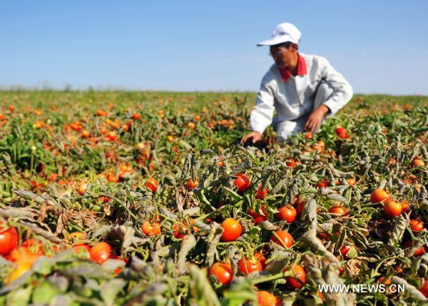 A technician checks the mature tomatoes in a model agricultural base of COFCO Tunhe Co., Ltd. in Changji Prefecture, northwest China's Xinjiang Uygur Autonomous Region, Aug. 6, 2011.      With the arrival of tomato harvest season, agricultural food producers like the Xinjiang-based food manufacturer COFCO Tunhe Co., Ltd., a wholly-owned subsidiary of China's largest agricultural food producer COFCO Co., Ltd., has started their harvest here.      The tomato output in Xinjiang accounts for more than 70 percent of the national total and the region is able to annually export over 700,000 metric tons of tomato products like catch-up to more than 100 countries and regions. (Xinhua/Jiang Wenyao) (lfj)