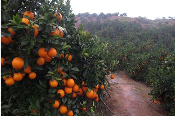 когда собирают урожай апельсинов в греции спать