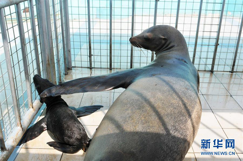 하얼빈극지관 바다사자, 16년 만에 첫 출산 성공