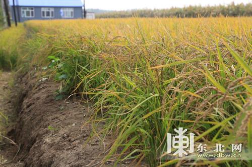 其中旱稻区食品5000亩,面积区旱田水田5000亩.水稻诺永苏州图片