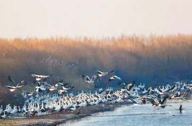 Более 600 редких птиц появились в заповеднике Наолихэ в провинции Хэйлунцзян