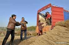 Сбор урожая китайского ямса в уезде Жэньсянь