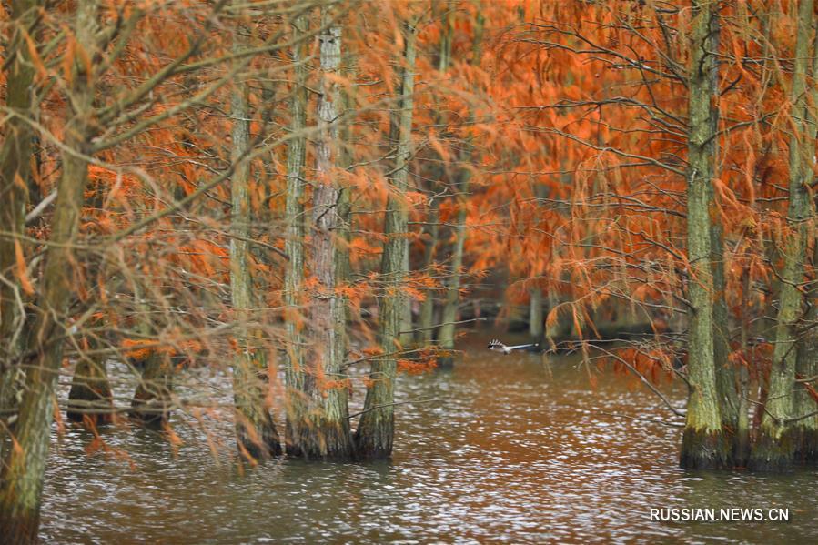 xinhua china anhui laian pond cypress scenery scenery - 899×599